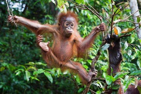 orangutan_borneo
